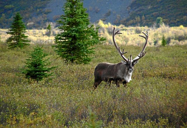 Caribou im Norden Amerikas