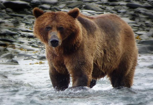Die wilden Tiere in Alaska werden Sie begeistern