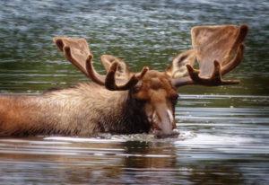 Sehen Sie Elche und andere Tiere in ihrem natürlichen Lebensraum
